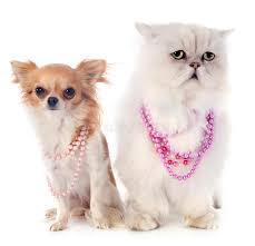 studio persiani gatto persiano e chihuahua bianchi immagine stock immagine di