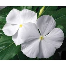 vinca flowers proven winners cora white vinca catharanthus live plant white
