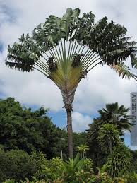 hawaiian travelers palm tree kens nursery