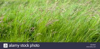 ornamental grasses in grassland field in oxfordshire uk stock