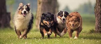 american eskimo dog apartment american eskimo dog breed