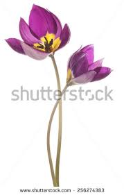 Images Of Tulip Flowers - tulip flower stock images royalty free images u0026 vectors
