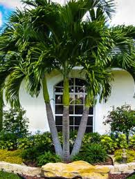 buy cold hearty palm trees the tree center