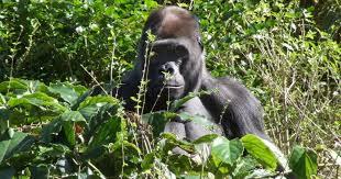 serena parker afghan hound judge gorilla wallpapers fun animals wiki videos pictures stories
