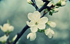white cherry blossom white cherry blossom 16348 6906893