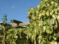 Fragrant Climbing Plant - climbing plants for shade areas shaded area climbers