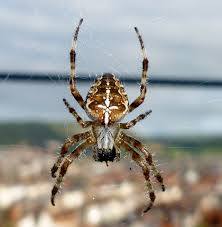 Male Spider Anatomy I Spied A Spider But Which Spider Have I Spied Eh A False Widow