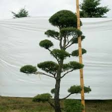 real topiary pine trees live topiaries 8 to 12