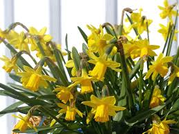 Yellow Lilies Free Photo Easter Lilies Spring Yellow Wall Free Image On