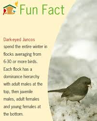 birds unlimited facts about juncos