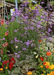 verbena flower verbena bonariensis buy online at s annuals