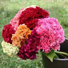 celosia flower mix cockscomb celosia flower seeds seeds