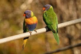 rainbow lorikeet birds in backyards