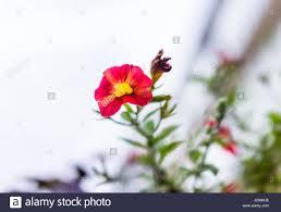 K He Pink Pink And Orange Red Calibrachoa Petunia Flower Bed Stock Photo