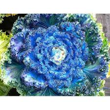 ornamental cabbage seeds for home garden 50 seeds