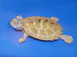 map turtle cagle s map turtle for sale from the turtle source