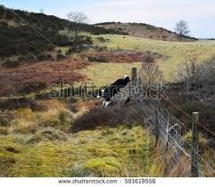 australian shepherd jumping fence dog fence jumping stock images royalty free images u0026 vectors