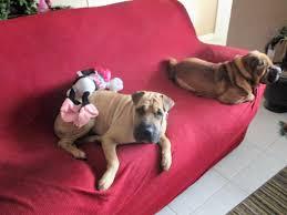 boxer dog rescue florida mulan florida chinese shar pei rescue