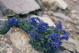 delphinium alpestre north american rock garden society