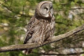 20 fun facts about owls bird trivia