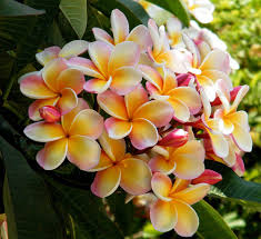Very Fragrant Plants If I Still Lived In Florida I Would Have Frangipani Trees All