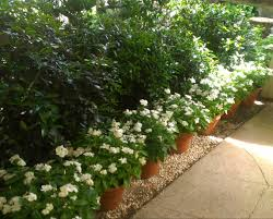 Fragrant Olive Plant We Decided To Help People Stay Within The Designated Area By