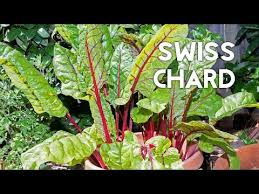 growing u0026 harvesting swiss chard in containers plus recipe