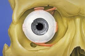Picture Of Eye Anatomy Orbit Anatomy Wikipedia