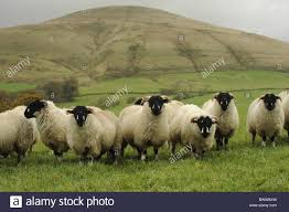 autumn bleasdale brewer lonks parlick fell ewe lambs ewes sheep