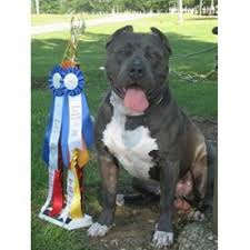american pitbull terrier kennels in arizona elite k 9 kennels american pit bull terrier breeder in derry new