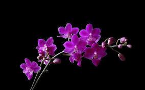 purple orchid flower orchid hd wallpaper purple orchid flowers for desktop