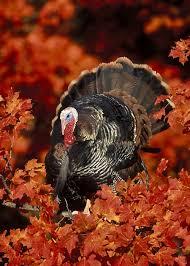 i heard mister turkey say gobble gobble gobble soon will be