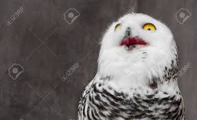 Shocking Meme - white owl with shocking meme face stock photo picture and royalty