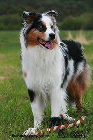 w lazy j australian shepherds 5625 best aussie wiggle best doggies in the world images