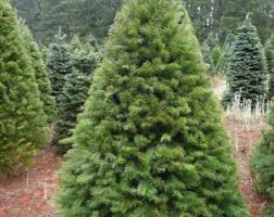 douglas fir tree etsy