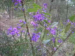 australian native climbing plants the world u0027s best photos of ben and flowerpot flickr hive mind