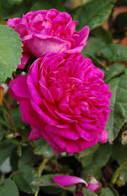 Fragrant Rose Plants - fragrant roses and times past converting a church