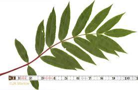 namethatplant net pinnately compound leaves of trees
