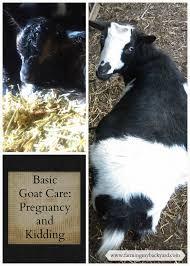 basic goat care pregnancy and kidding farming my backyard