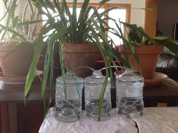vacation plant watering set up for a month hydrospike