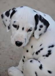 breathtaking gene discovery dalmatian dogs eurekalert