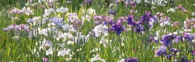 10 best iris gardens to visit in japan kyuhoshi