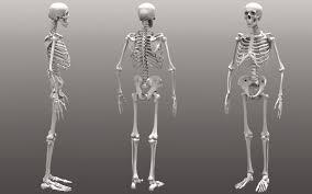 Anatomy Of The Human Skeleton Human Anatomy Full Body Skeleton In India For Sale U2013 Human Anatomy