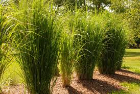 the of ornamental grasses whitehouse landscaping