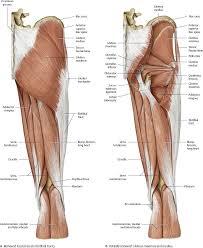 Human Anatomy Atlas Hip U0026 Thigh Atlas Of Anatomy