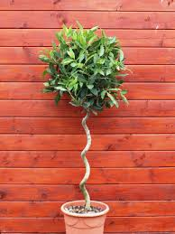 Potted Topiary Trees Topiary Trees And Plants Online Top Topiary