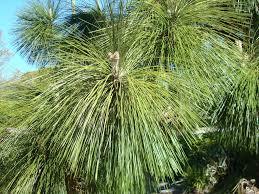 white pine tree longleaf pine for sale wilcox nursery