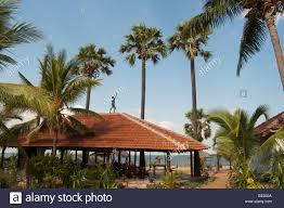 palmyra palm tree stock photos u0026 palmyra palm tree stock images