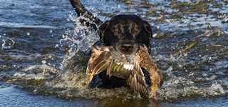 Dog Blinds 4 Fundamentals Of Blind Retrieves