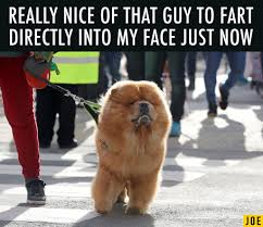 Pomeranian Meme - just 14 memes from crufts to remind us that all dogs are precious